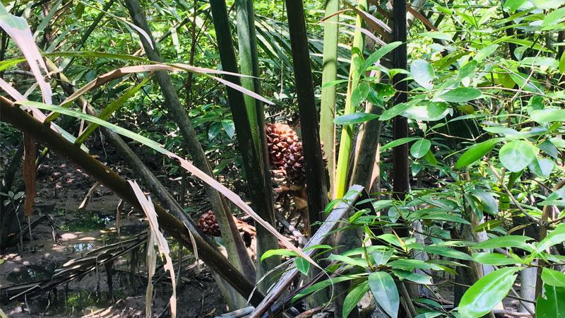 Pokok Nipah In Mangrove Forest