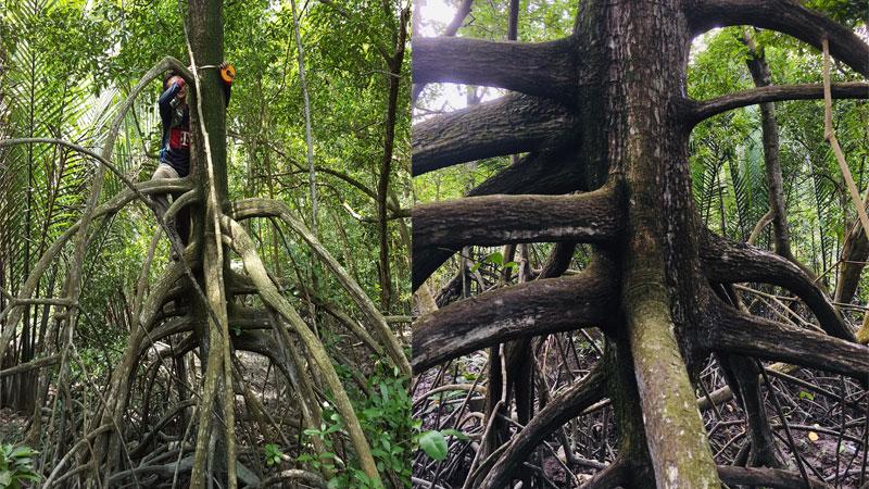 Mangrove Trees Trunk